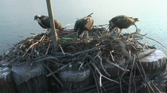 View of the Osprey Nest, DC